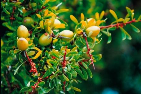 The fruit of the argan tree.