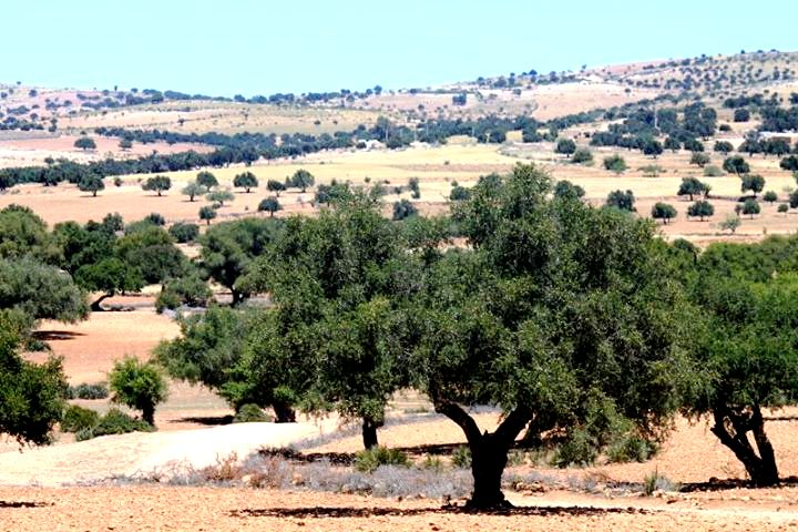 The argan tree is indigenous to Morocco.