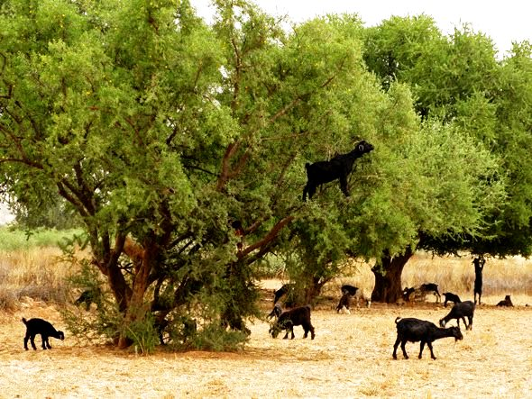 For centuries, Berber tribes have lived with their flocks of goats and their argan trees.
