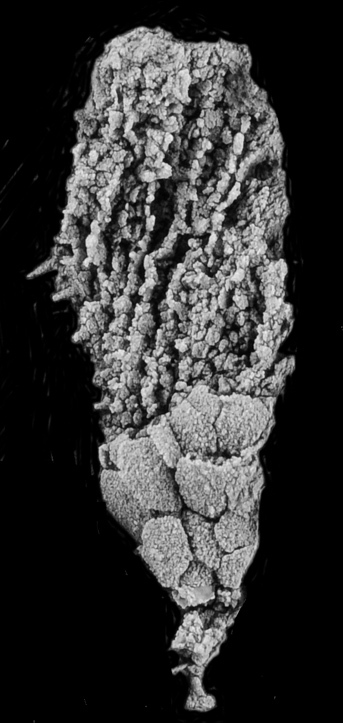 Strange symmetry Earlier fossils had spiral arrangement of those grooves, or ambulacra, but not the distinctive five point symmetry found in sea urchins, starfish, and other echinoderms. Credit: Andrew Smith