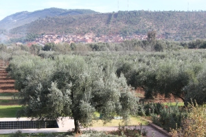 Olive groves in Morocco, keeping up with Americans' love for quality olive oil.