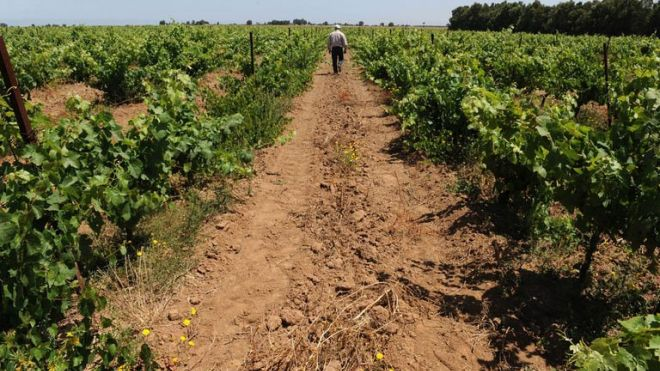A man walking through a vineyard in the Moroccan town of Benslimane in the Casablanca region, June 12, 2013 (AFP/File)